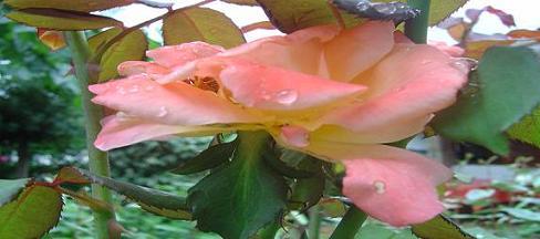20060912153937-rosa-utopia-2.jpg