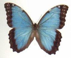 20060125232409-mariposa-azul.jpg